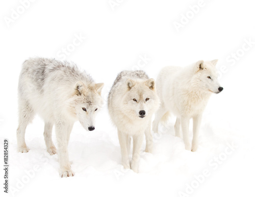 Tuinposter Ijsbeer Arctic wolves (Canis lupus arctos) isolated on a white background standing in the winter snow in Canada