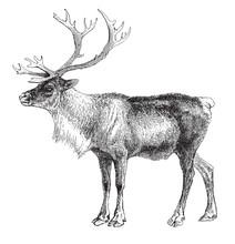 Reindeer (Rangifer Tarandus) /...