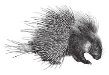 Crested Porcupine (Hystrix Cri...