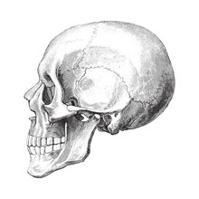 Human Skull / Vintage Illustration