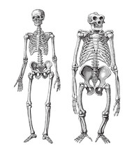 Human (left) And Gorilla (righ...