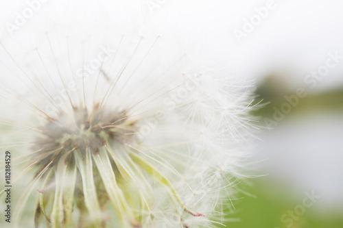 Fototapeta Dandelion na rozmycie tła
