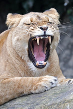 Lioness With Open Mouth