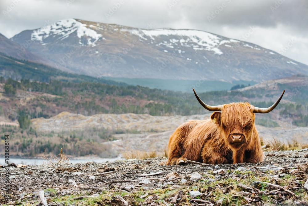 Fototapeta Isle of Skye - Highland cattle
