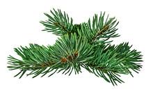 Green Fir Branch On White Back...