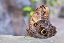 Owl Butterfly Calligo Memnon