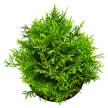 Thuja Occidentalis Danica Isolated On White Background. Coniferous Trees