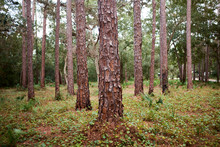 Neat Clean Pine Forest With Fo...