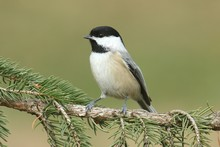 Black-capped Chickadee (poecil...