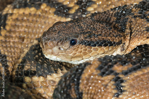 Fotografie, Obraz  South American Bushmaster (Lachesis muta) portrait, captive (native to South Ame