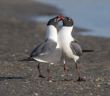 Courtship Of Laughing Gulls (L...