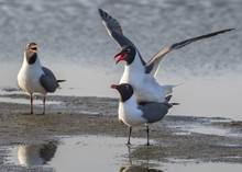 Mating Laughing Gulls (Leucoph...