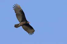 Turkey Vulture (Cathartes Aura...
