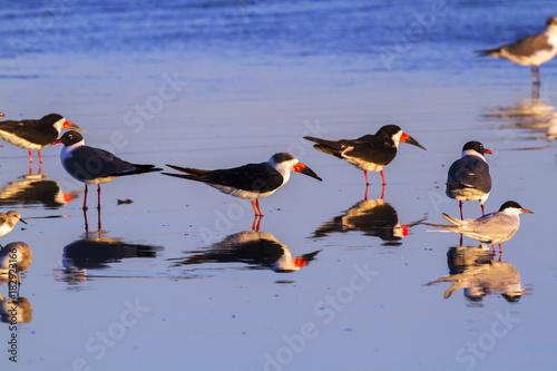 Black skimmer on the ochean shore during sunset - Buy this