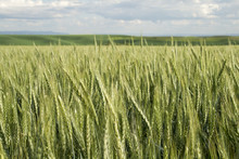 Palouse Vista Wheat