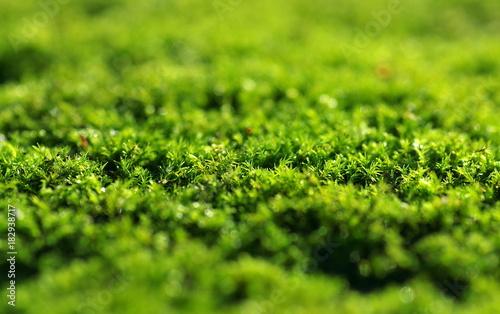 zielony mech pokryty rosą - fototapety na wymiar