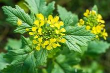 Blühende Wilde Senf Pflanzen ...