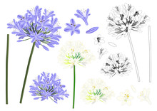 Blue Purple Agapanthus Outline