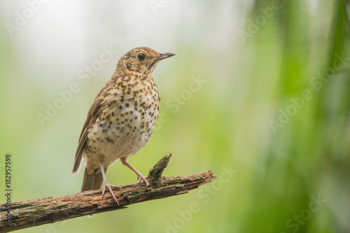 Fotobehang Vogel Song thrush