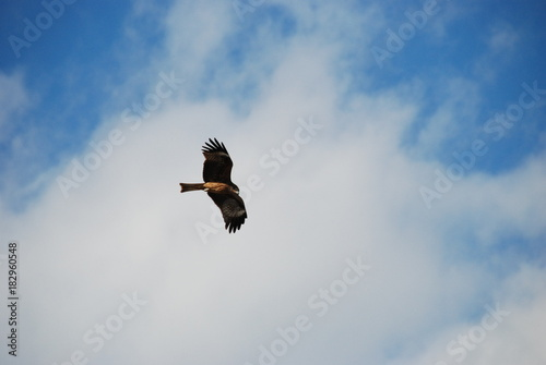 Foto op Canvas Luchtsport A big and dangerous hawk bird flying on the blue and cloudy sky