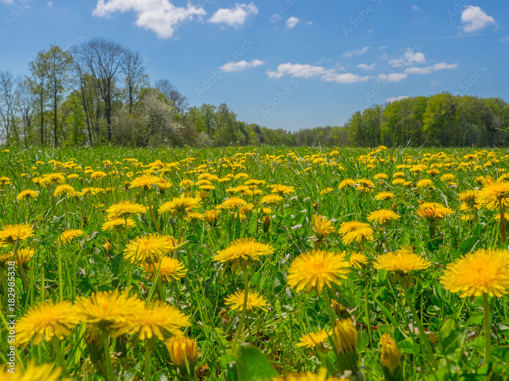 Fototapety, obrazy: dandelions on a meadow