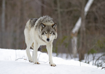 A lone Timber wolf or Grey Wolf (Canis lupus) walking in the winter snow in Canada