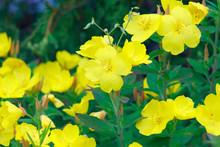 Yellow Enotera Flower Or Oslin...