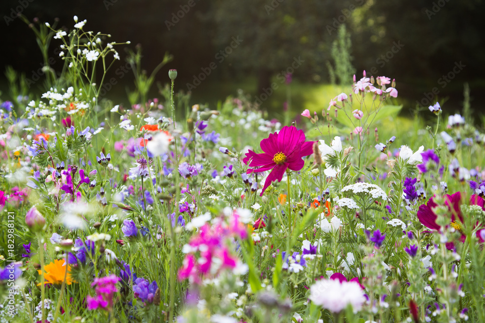 Fototapety, obrazy: Wildblumenwiese