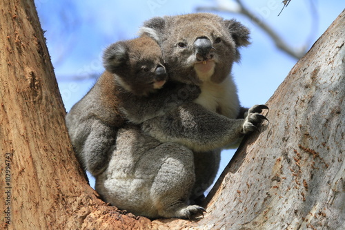 Foto op Canvas Koala Wild Koala with baby