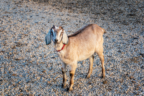 Photo Beautiful Anglo-Nubian goat standing on crushed stones