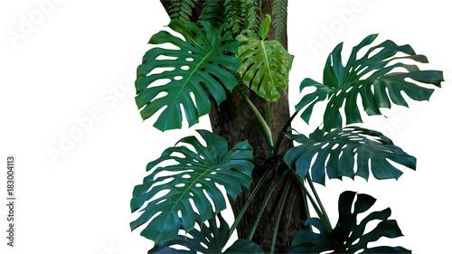 zieleni-liscie-monstera-lub-liscia-philodendron-tropikalny-ulistnienie-rosliny-dorosniecie-w-dzikim-piecie-na-drzewnym-bagazniku