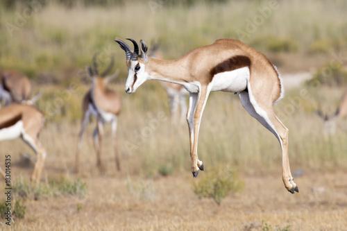 Spoed Fotobehang Antilope Springbok herd prancing on a plain in the Kgalagadi