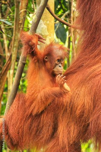 Deurstickers Aap Baby Sumatran orangutan next to its mother n Gunung Leuser National Park, Sumatra, Indonesia