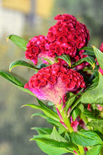 Dark Red Celosia Cristata Flow...
