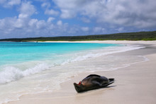 Galapagos Sea Lion Lying On The Beach At Gardner Bay, Espanola Island, Galapagos National Park, Ecuador