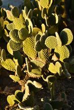 Green Thorny Cactus Plants Growing In Desert