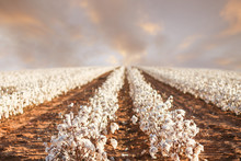 Beautiful Cotton Field In West...