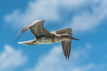 Brown Booby, Sula Leucogaster, Exotic Bird Flying In Blue Sky