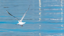 Gull Who Takes Off From Water, Seagull Flying On Blue Sea