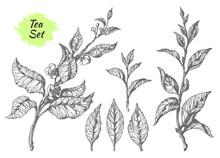 Set Of Tea Bush Branches. Botanical Drawing. Vector