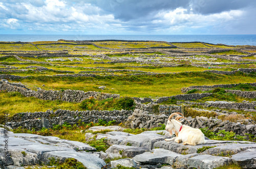 A goat resting in Inishmore, Aran Islands, Ireland. Canvas Print