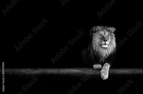 Recess Fitting Lion Lion Portrait in the dark