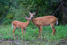White-tailed Deer Fawn And Doe...