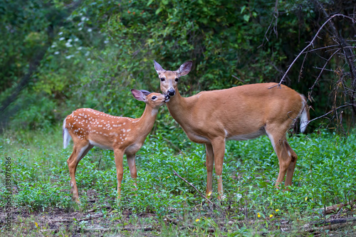 Photo White-tailed deer fawn and doe grazing in a grassy field in Canada
