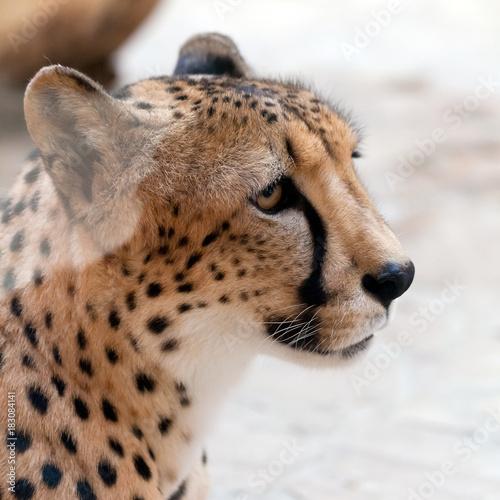 Cuadros en Lienzo portrait of the fastest animal on the planet - cheetah