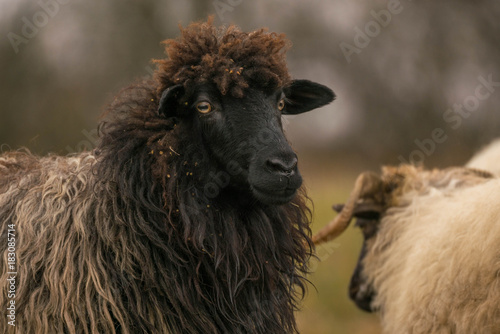 Fotografering  Title: Portrait of a sheep wich I found it on an open field