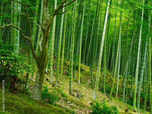 Poster Bamboe Bambus Hintergrund Wald grün