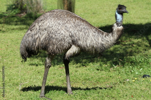 Vászonkép Closeup of wild emu on south coast of Australia