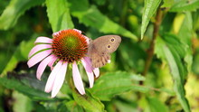 Pink Flower With Brown Buckeye...