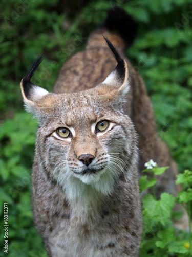 Foto op Aluminium Lynx Lynx